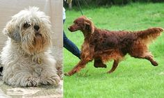 Second dog 'dead' in dog show murder mystery as poisoning victim Jagger the Irish setter is cremated  http://www.dailymail.co.uk/news/article-2987859/Second-dog-reported-dead-Crufts-murder-mystery-poisoning-victim-Jagger-Irish-setter-cremated.html