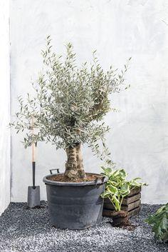 Mooie grote planten in je tuin bij Intratuin #intratuin