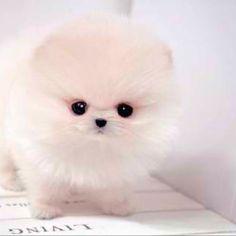 Such a cute teacup Pomeranian! Such a cute teacup Pomeranian! Super Cute Puppies, Cute Dogs And Puppies, Baby Puppies, Baby Dogs, Corgi Puppies, Chihuahua Dogs, Doggies, White Pomeranian Puppies, Teacup Pomeranian