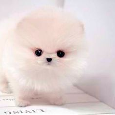 teacup white Pomeranian puppy awww :)