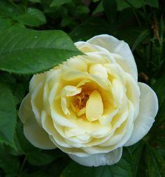 Klášterní růže.
