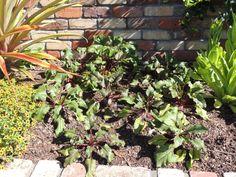 'Beetroot' Edible Garden -- Auckland Botanic Gardens - Manurewa - Auckland - New Zealand -- 6th April 2014