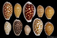 Picture of species in the Cribrarula genus, click to enter gallery