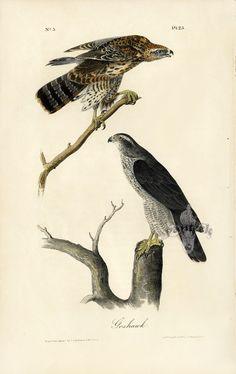 Audubon Bird Prints from Birds of America 1842
