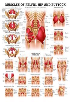 anatomy of hip and buttocks | Muscles of Buttock, Hip and Pelvis Laminated Anatomy Chart