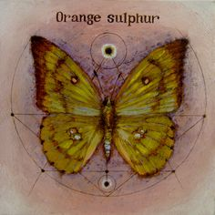 Orange Sulphur by artentomology on Etsy