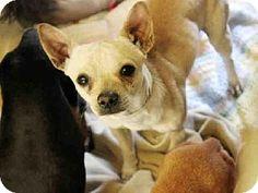 Chihuahua Mix Dog for adoption in Mesa, Arizona - A3546581Maricopa County Animal Care & Control East Valley,Mesa AZ