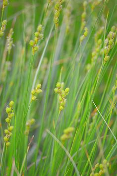 Prairie Moon Nursery :: Seeds :: Carex brevior (Plains Oval Sedge); beautiful grass, haven't researched