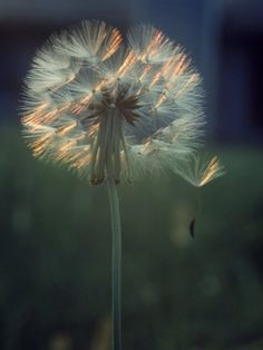 Dandelion Backlit by the Sun Photographic Print by Kevin Leigh