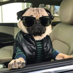 101 Best Doug The Pug Pictures - meowlogy Cute Funny Animals, Cute Baby Animals, Funny Dogs, Cute Dogs, Animals Dog, Pug Pictures, Cute Animal Pictures, Pug Puppies, Chihuahua