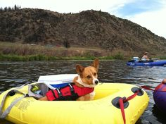 The Daily #Corgi: Roper of Montana: Little Legs in Big Sky Country! Read his story here …