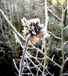 winter blume