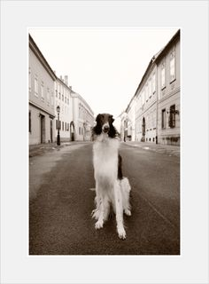 Leonard • borzoi Animal 2, Budapest, Dogs, Pet Dogs, Doggies