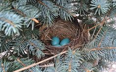 Robin's nest with eggs, in a spruce tree