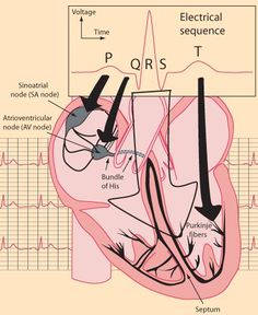 Great visual aid to help in the visualisation of the parts of an ECG (PQRST) Nursing School Tips, Nursing Tips, Nursing Notes, Nursing Schools, Lpn Schools, Cardiac Nursing, Med Surg Nursing, Respiratory Therapy, Physician Assistant