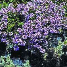 Creeping Thyme (Thymus Serpyllum Mother of Thyme) - Easy-to-grow from Creeping Thyme seeds, also used between paving-stones or bricks in walkways. It has a highly fragrant scent that rises up to greet you as you walk along a pathway of Mother of Thyme. It is a hardy perennial, handling summer heat and winter cold.