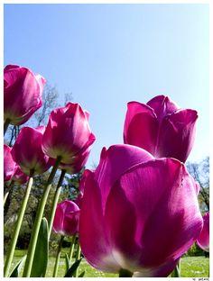 Fabulous Pink Tulips