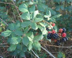 plantas silvestres comestibles (edible wild plants)