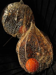 Physalis alkekengi (Bladder cherry, Chinese lantern,[1] Japanese lantern,[1] or Winter cherry;[1] Japanese: hōzuki), is a relative of P. peruviana (Cape Gooseberry), easily identifiable by the larger, bright orange to red papery covering over its fruit, which resemble Chinese lanterns. It is native from southern Europe east across southern Asia to Japan. It is a herbaceous perennial plant growing to 40–60 cm tall, with spirally arranged leaves 6–12 cm long and 4–9 cm broad. The flowers are…