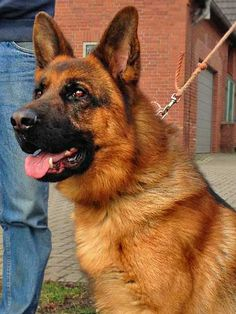International K9 Imports conducts this test to determine the dog under test has got the appropriate traits of a Proper German Shepherd Dog.