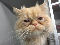 Adopted❤️❤️❤️❤️Meet FINIAN, an adoptable Persian Cat | Delhi, NY | FINIAN was surrendered to the shelter on June 27, 2015 when he was about 3 years old. Finian is a...