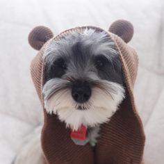 "685 Likes, 26 Comments - (wonder)Wally (@wonderwallythedog) on Instagram: ""I can't ""bear"" Monday mornings... • • • #bear #mondayblues #schnauzerworld #schnauzer…"""