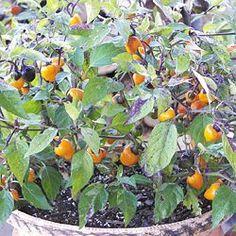 Golden Nugget Pepper - Seed Savers Exchange