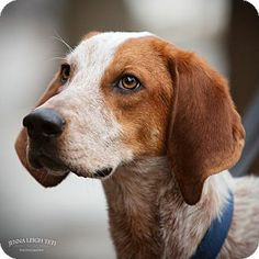 Johnny Knoxville - Redtick Coonhound mix - 3 yrs old - Jersey City, NJ - See Spot Rescued - https://www.facebook.com/seespotrescued - http://www.adoptapet.com/pet/10190728-jersey-city-new-jersey-redtick-coonhound-mix - http://www.petfinder.com/petdetail/28311402/