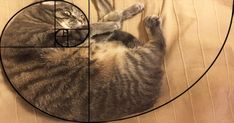 Cats are perfect! We do have proof this time, mind you. Ever heard of the Fibonacci sequence aka the Golden Ratio? Cat Art Print, Golden Ratio, Golden Rule, Bored Panda, Sacred Geometry, Geometry Art, Best Funny Pictures, Cats And Kittens, Big Cats