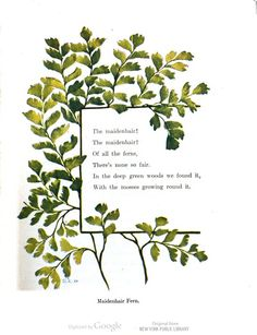"""""""The maidenhair! The maidenhair! / Of all the ferns, / There's none so fair..."""" From, 'Flowerless Plants: Ferns, Mushrooms, Mosses, Lichens, and Seaweeds' by Elizabeth H. Hale 1912"""