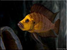 Photo by Bobby Phillips Cichlid Aquarium, Cichlid Fish, Malawi Cichlids, African Cichlids, Freshwater Aquarium Fish, Saltwater Aquarium, Aquascaping, Tang Fish, Lake Tanganyika
