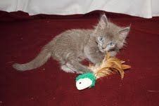 Cat of the Week  Gizmo is a male Persian mix who is about 9 weeks old. Gizmo has a brother, Figaro, who looks just like him. They were both bottle fed in loving foster homes and have very sweet dispositions. They love to play!