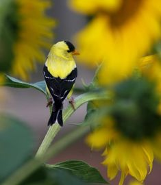 An American Goldfinch~~~Nature Nook