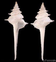 Coluzea rosadoi  Bozzetti, L., 2006   Shell size 33 - 43 mm   Tanzania; Mozambique