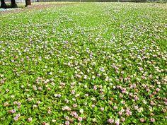 クラピアのお花畑です。 #イワダレソウ #クラピア #kurapia