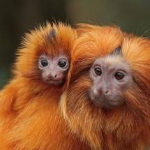 Golden Lion Tamarin.. SO cute! T