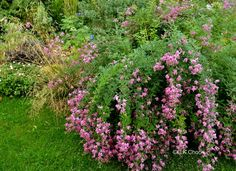 Lespedeza bicolor 'Yakushima' in September-  http://gardencanadensis.ca/fusian/index.php/peren/lespedeza/