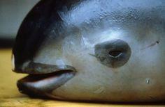 As forças armadas do México iniciaram na quinta-feira uma operação com drones para proteger a vaquita marinha, espécie à beira da extinção, dos pescadores que violam as restrições no seu habitat.