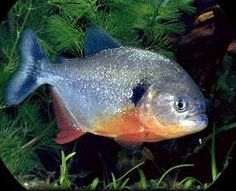 They may look nice but Piranhas are some mean ones