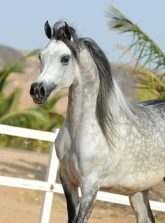 ..Yamamat Al Khalediah    Classwinner 5-6 year old mares    Senior Female Silver Champion..