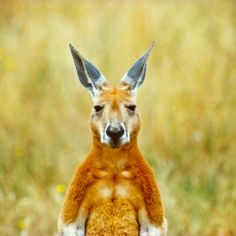 """Male Red Kangaroos, or """"boomers"""", are heavily muscled with rich, rusty red fur. At over 1.4 metres tall, an adult male is the largest marsupial on the planet. http://www.steveparishgallery.com/products-page/wildlife/red-kangaroo-3/"""