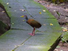 This little guy is a Grey-necked Wood Rail, and he is our guest too!