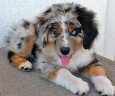 OMG adorable Blue Merle Australian Shepherd puppy, this looks just like our Misty did with the one blue eye, one brown eye <3