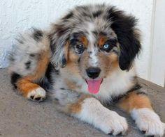 OMG adorable Blue Merle Australian Shepherd puppy