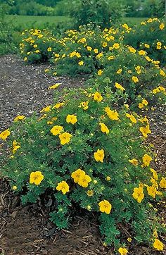 Potentilla 'Gold Star.' Low growing deciduous flowering shrub with a rounded growth habit. Throughout summer, yellow flowers cover the shrub. It's a hardy plant, useful as a groundcover or border. Plant in full sun. Grows 3' tall and 3-4' wide.