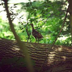 A little turkey walking on a tree limb in my backyard in Uxbridge, MA. #birds #nature #photography #turkeys #newengland #massachusetts #uxbridge