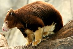 Matchie's Tree Kangaroos Are The Coolest Marsupials Ever