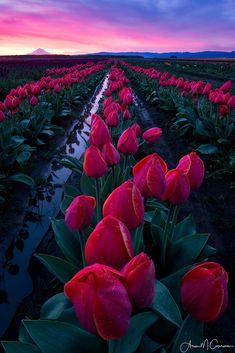 rosiesdreams: Tulips at sunrise Woodburn Oregon . Flowers To Go, Flowers Nature, Beautiful Flowers, Beautiful Places, Beautiful Pictures, Nature Aesthetic, Flower Aesthetic, Flower Phone Wallpaper, Nature Wallpaper
