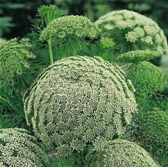 So unusual. Posted on Swallowtail Garden. Green Mist laceflower Seeds - Garden Seeds - Annual Flower Seeds
