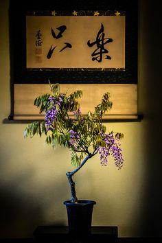 Wisteria bonsai on Tokonoma alcove